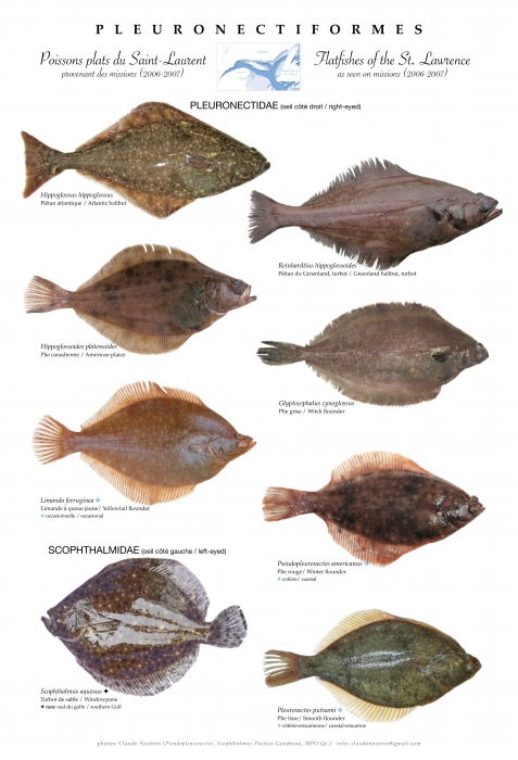 Pleuronectiformes of the St. Lawrence