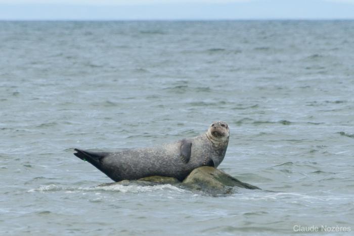 Seal on rock