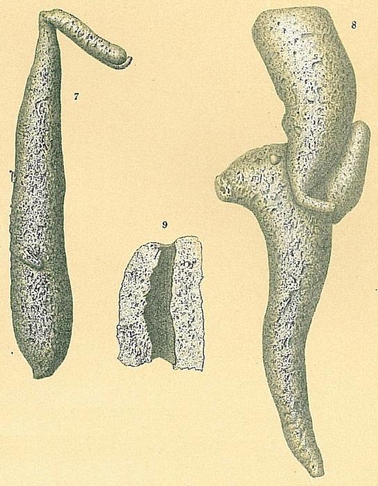Pelosina variabilis