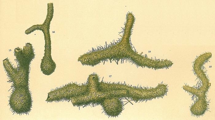 Saccorhiza ramosa