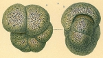 Haplophragmoides sp.nov1.