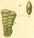 Spiroplectammina sp.nov.