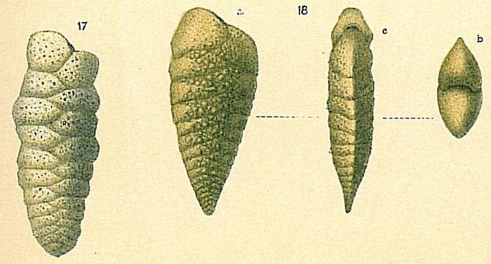 Spiroplectinella wrightii