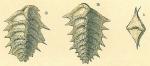 Spirorutilus carinatus