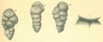 Karreriella novangliae