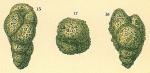 Eggerelloides scaber