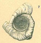 Cornuspirella diffusa