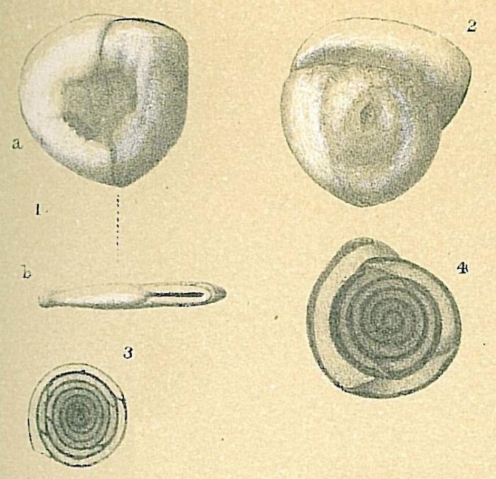 Planispirinella exigua