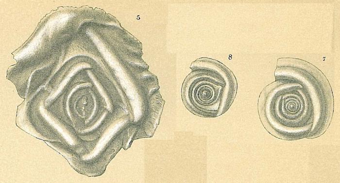 Cornuloculina inconstans