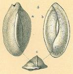 Edentostomina sp.nov.