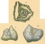 Pseudoflintina triquetra
