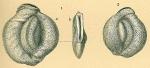 Pseudomassilina australis