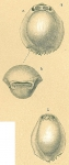 Pyrgo denticulata