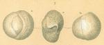 Triloculinella sublineata