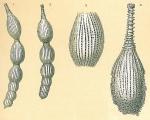 Amphicoryna intercellularis