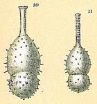 Amphicoryna papillosa