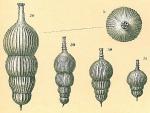 Amphicoryna scalaris