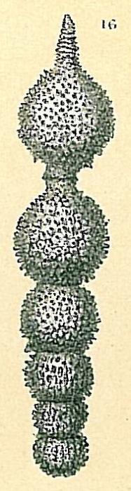 Amphicoryna sp.nov1.