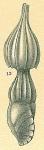 Amphicoryna sp.nov2.