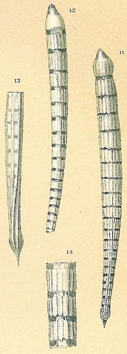Dentalina albatrossi