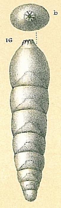 Frondicularia bradii