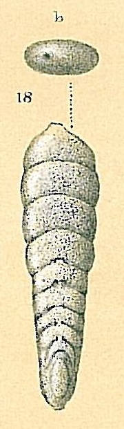 Frondicularia kiensis