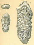 Frondicularia robusta