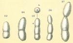 Glandulonodosaria calomorpha