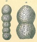 Glandulonodosaria sp.nov.