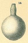 Lagena sp.nov1.