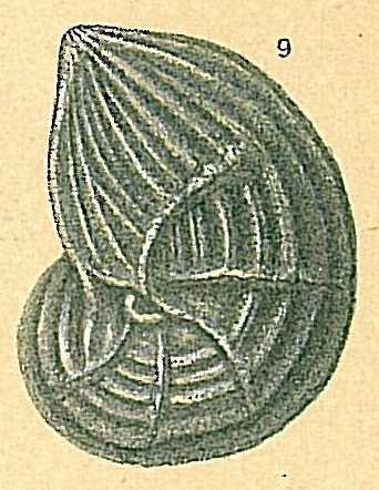 Lenticulina anaglypta