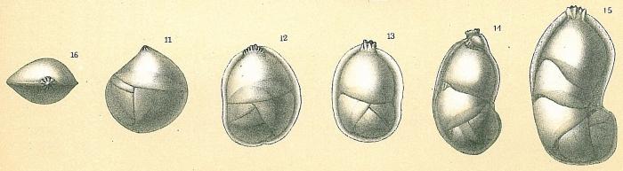 Neolenticulina variabilis