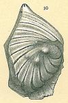 Planularia cassis