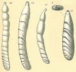 Vaginulinopsis tenuis