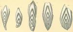 Plectofrondicularia advena