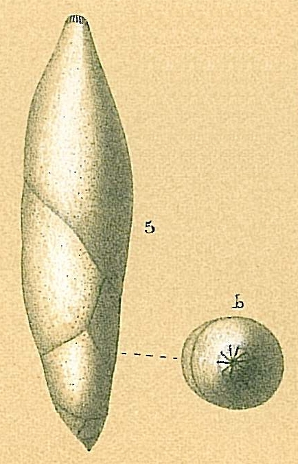 Pyrulina cylindroides