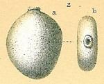 Fissurina sp.nov1.