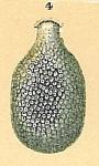 Fissurina sp.nov2.