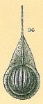 Fissurina sp.nov8.
