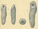 Buliminoides williamsonianus