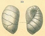 Elongobula sp.nov.