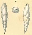 Eubuliminella exilis