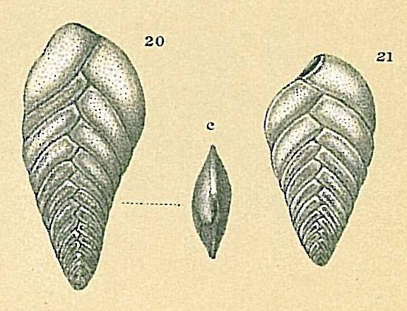 Brizalina spathulata