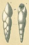 Pleurostomella sp.nov1.