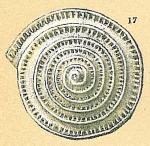 Spirillina denticulata