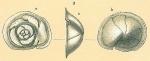 Parvicarinina tenuimargo