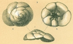 Identified as Strebloides advenus but NOT this taxon
