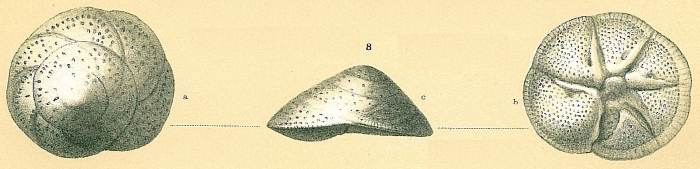 Neoeponides auberii