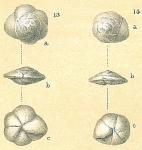 Alabaminoides exiguus