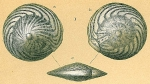 Not Amphistegina bicirculata (?) see note